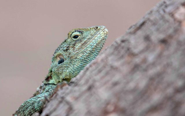 Agame à tête bleue, femelle, Acanthocercus atricollis
