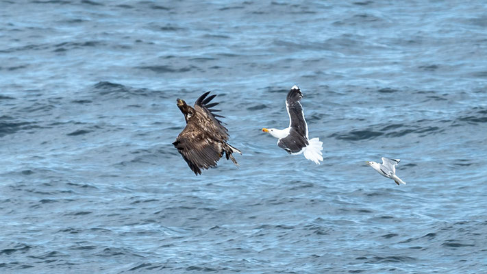 Jnice scene; an immature White-tailed Eagle, Haliaeetus albicilla, is harassed by a Great Black-backed Gull, Larus marinus, closely followed by a Mew Gull, Larus canus