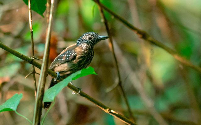 Black-hooded Antshrike , Thamnophilus bridgesi, Carara NP