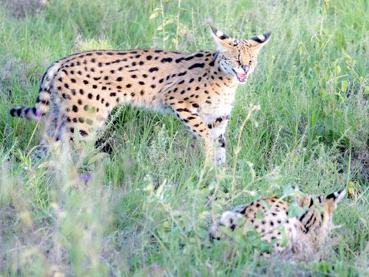 Serval pair, Leptailurus serval