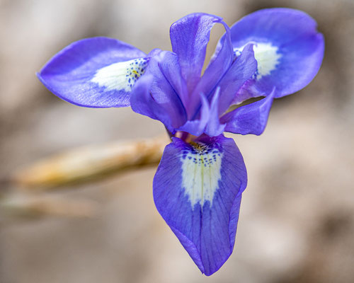 Barbary nut,  Moraea sisyrinchium