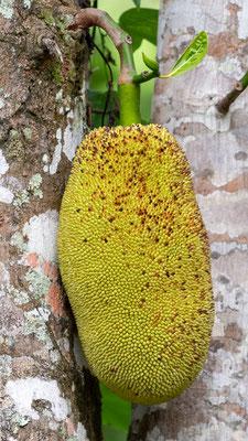 Fruit de  L'arbre à pain, Artocarpus altilis