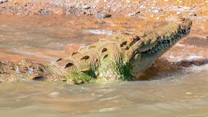Crocodile d'Amérique, Crocodylus acutus, fleuve Tarcoles
