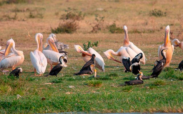 Great White Pelican , Pelecanus onocrotalus, Great Cormorant, Phalacrocorax carbo