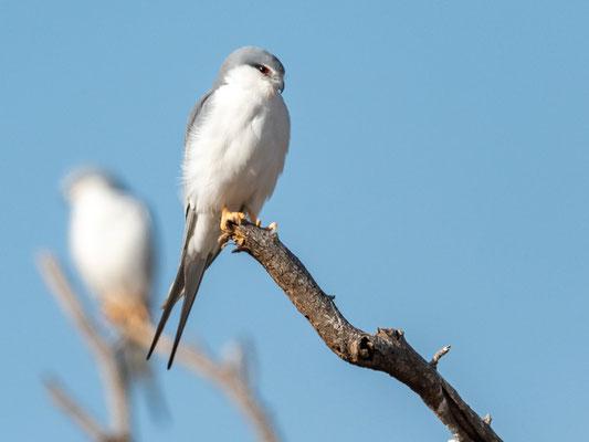Scissor-tailed Kite, Chelictinia riocourii. Aledeghi reservei