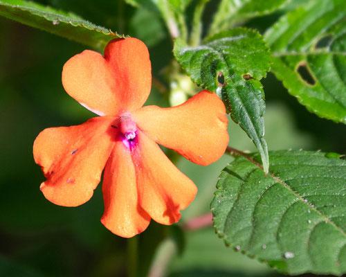 Fleur de la familles des Impatientes