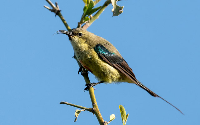 Beautiful Sunbird immature , Cinnyris pulchellus. Hara lodge