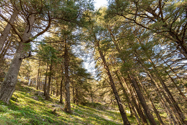 Forest atmosphere in Shouf