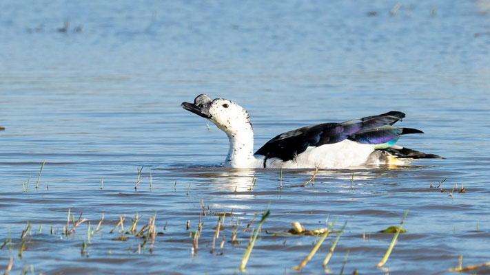 Beautiful male of Knob-billed Duck, Sarkidiornis melanotos