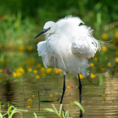 Little Egret, Egretta garzetta
