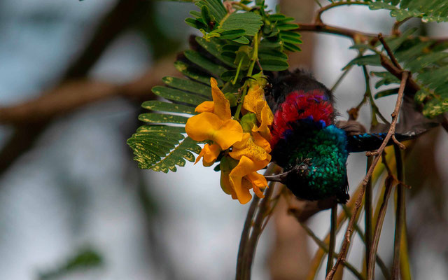 Marico Sunbird, Cinnyrus mariquensis