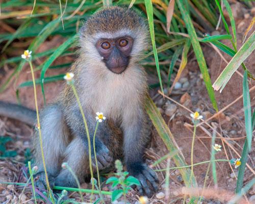 Tantalus monkey, Cercopithecus a. tantalus