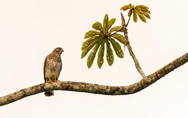 Epervier brun, Accipiter striatus