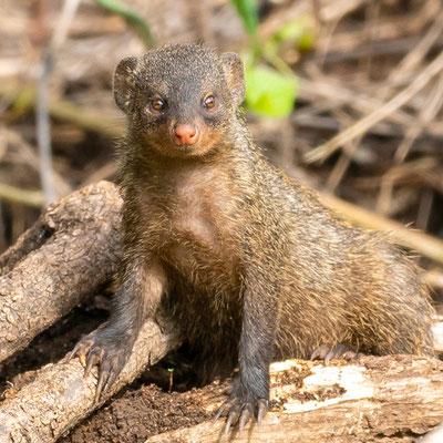 Common dwarf mongoose, Helogale parvula