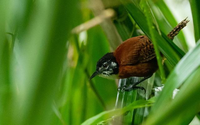 Troglodyte à calotte noire, Cantorchilus nigricapillus