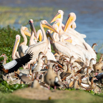 Gathering of Great White Pelican and Egyptian Goose,  Pelecanus onocrotalus et Alopochen aegyptiaca on the shores of Lake Ziway