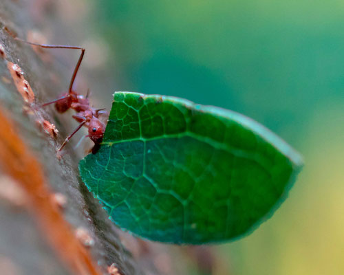 Leafcutter ants, Atta or Acromyrmex