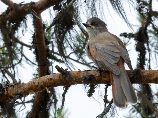 Siberian Jay , Perisoreus infaustus. Rare in the south of the country. Nice surprise!
