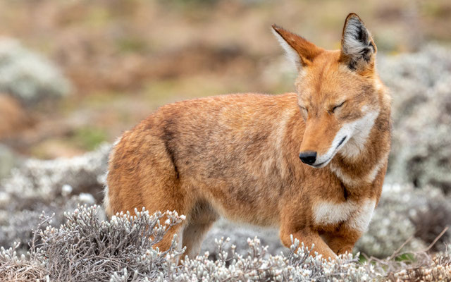 Ethiopian wolf, Canis simensis. Lying quietly a few meters away from us.