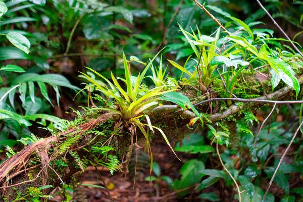 Diversité de plantes épiphytes