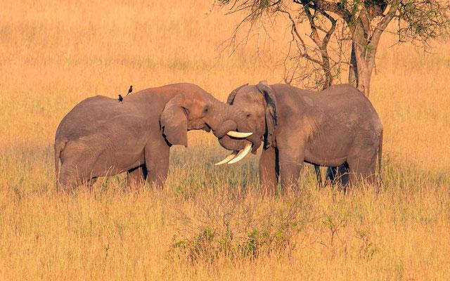 Calins d'éléphants 1