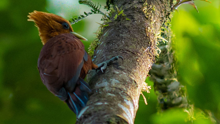 Chestnut-colored Woodpecker, Celeus castaneus