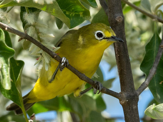 Abyssinian White-eye, Zosterops abyssinicus