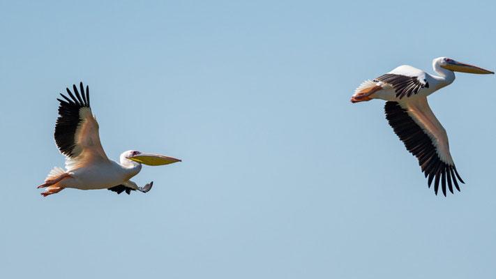 Pélican blanc,  Pelecanus onocrotalus