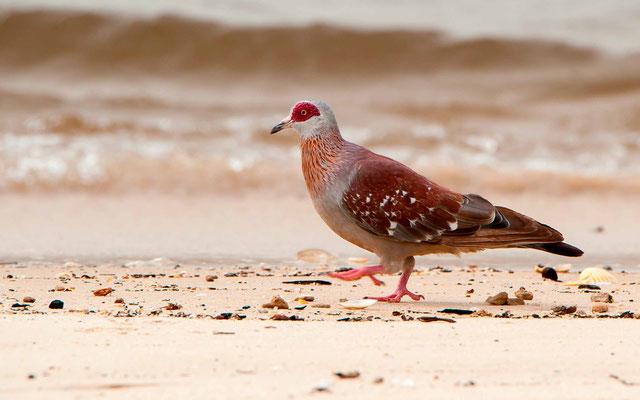 Pigeon roussard, Columba guinea
