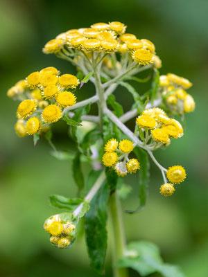 Fleur de la familee des  Asteroideae