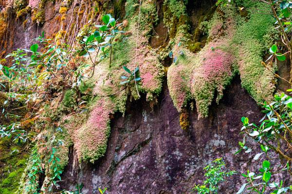 Tapis de mousses et autres plantes sur une falaise.