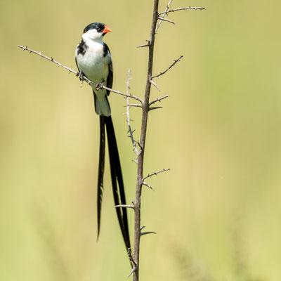 Veuve dominicaine Vidua macroura, mâle en plumage nuptial.