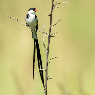 Pin-tailed Whydah, Vidua macroura, male in breeding plumage