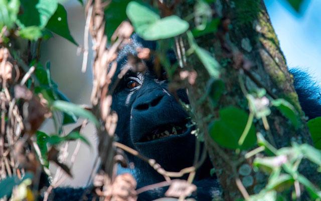Gorille des montagnes, Gorilla beringei beringei