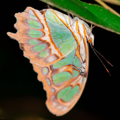 Malachite, Siproeta stelenes. Observed and photographed at night, at rest.