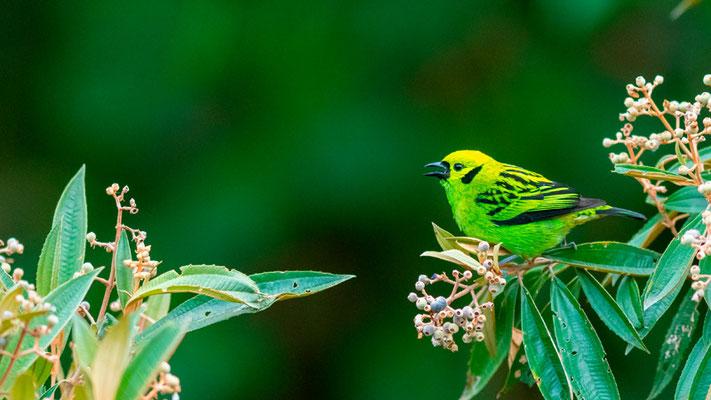 Emerald Tanager, Tangara florida