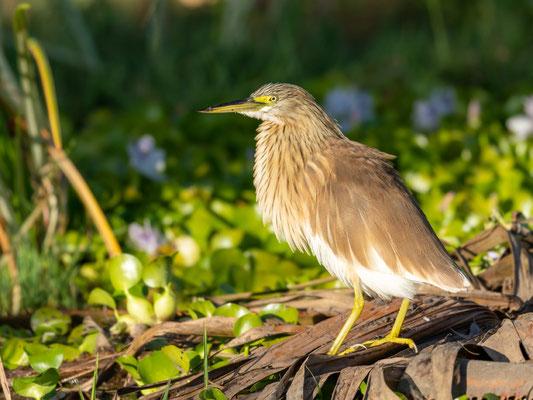Squacco Heron, Ardeola ralloides. Ziway Lake