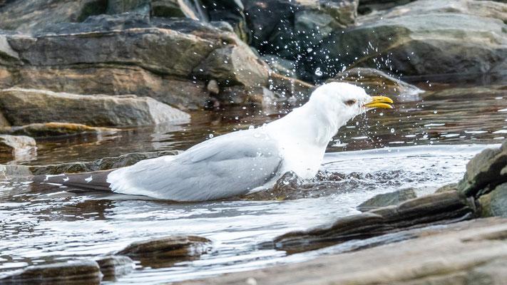 Goéland cendré, Larus canus, prenant son bain!