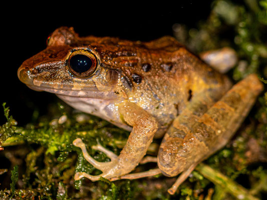 Vaillant's frog, Rana vaillanti