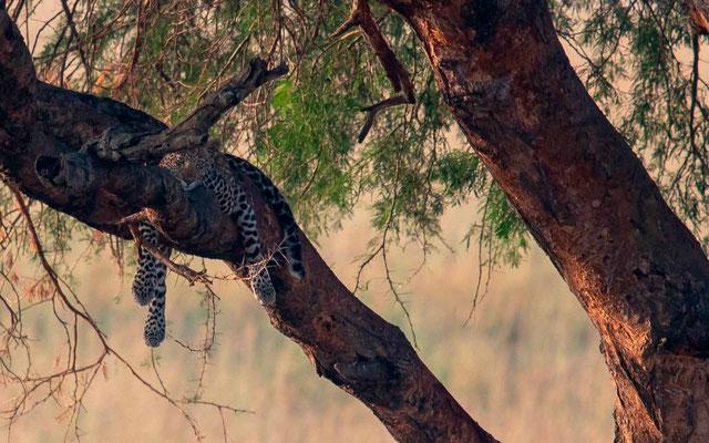 Leopard , Panthera pardus