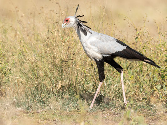 Secretarybird, Sagittarius serpentarius. Aledeghi reserve