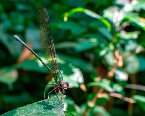 Undefined Odonata