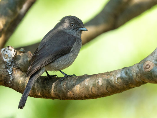 Abyssinian Slaty Flycatcher, Melaenornis chocolatinus