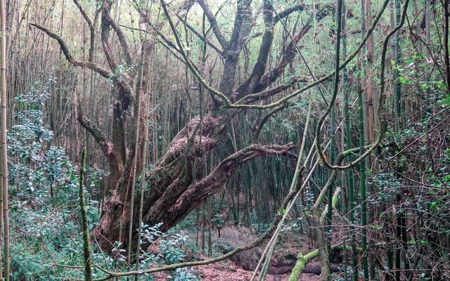 Mgahinga forest