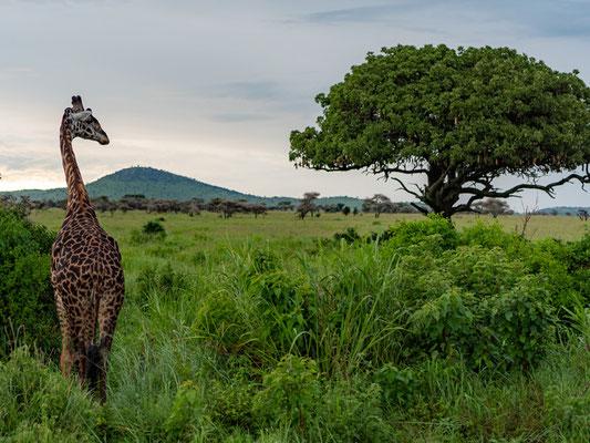 Masai giraffe, Giraffa camelopardalis tippelskirchi in its environement