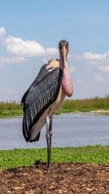 Marabou Stork, Leptoptilos crumeniferus