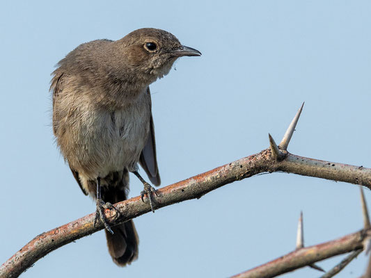 Sombre Rock Chat, Oenanthe dubia. Endemic, very localised and little known. Lake Basaka