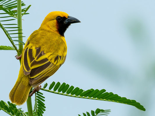 Kilombero Weaver, Ploceus burnieri. Endemic to the Kilombero region, described only in 1990 and already on the red list....