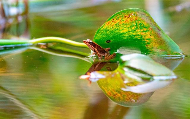 Rana (lithobates) warszewitschii, juvenile