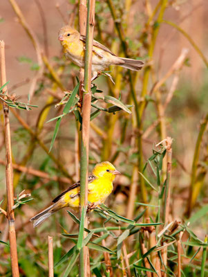 Sudan Golden Sparrow, Passer luteus